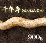 自然薯『千年寿』 (900g 級)