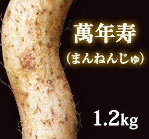 自然薯『萬年寿』(1.2kg 級)
