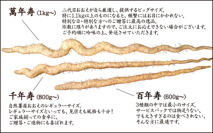 自然薯(じねんじょ)サイズ比較