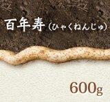 自然薯『百年寿』 (600g 級)