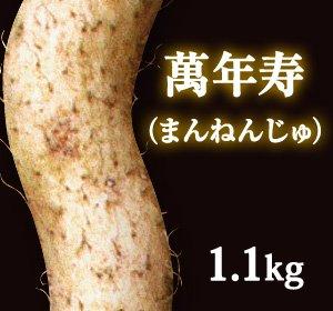 画像1: 自然薯『萬年寿』 (1.1kg 級)