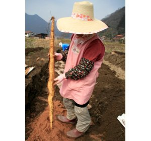 画像3: 自然薯『百年寿』 (700g 級)